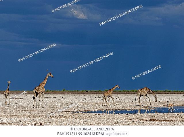 26 November 2019, Namibia, Etosha-Nationalpark: Giraffes stand at a waterhole in Etosha National Park. Photo: Oliver Berg/dpa
