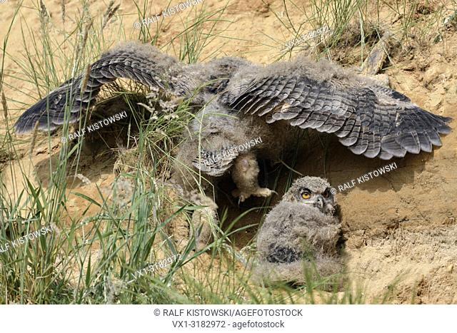 Eurasian Eagle Owl ( Bubo bubo ), young chick, climbing back to its nesting site in a sand pit, wildlife, Europe