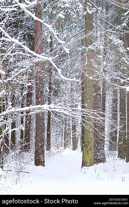 The trees in winter forest close up