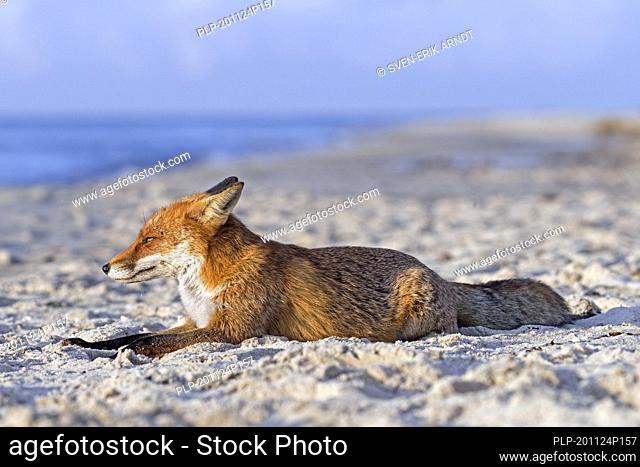Red fox (Vulpes vulpes) resting on sandy beach along the coast