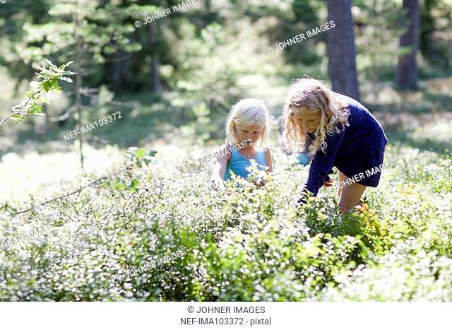 Girls picking blueberries