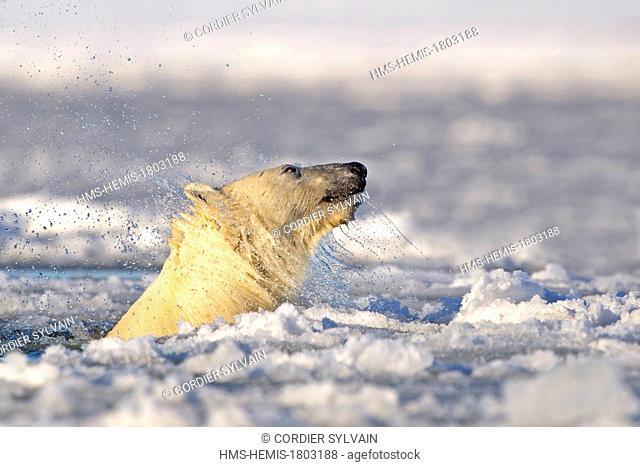 United States, Alaska, Arctic National Wildlife Refuge, Kaktovik, One sub adult polar bear swim in slush ice along a barrier island outside Kaktovik, Alaska