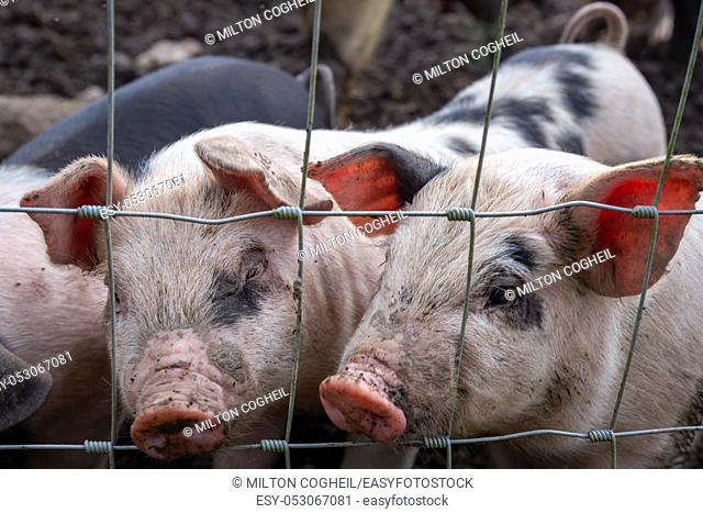 Saddleback piglets (sus scrofa domesticus) behind the fencing of a pigsty