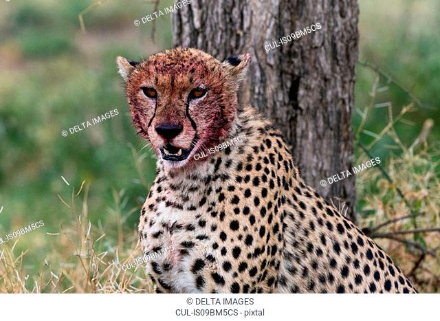 Cheetah (Acinonyx jubatus) with a bloody face after feeding, Ndutu, Ngorongoro Conservation Area, Serengeti, Tanzania