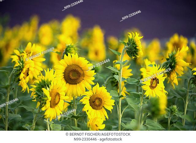 Sunflowers in front of lavander field, Provence, France