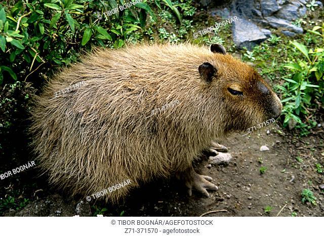 Hydrochoerus hydrochaeris. Capybara. Ecuador