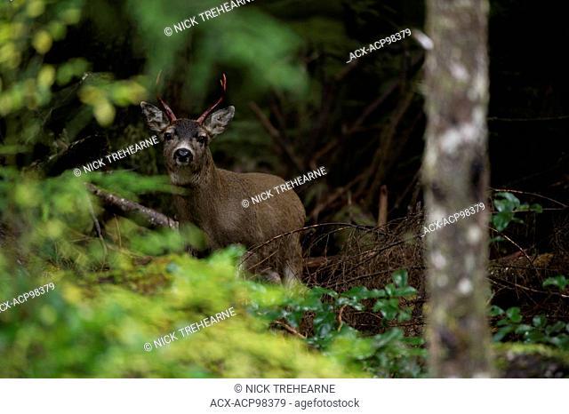 Odocoileus hemionus sitkensis, sitka blacktail, rainforest, Haida Gwaii, British Columbia, Canada