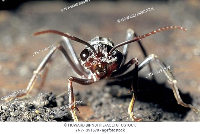 Close up head on view of a red bullant