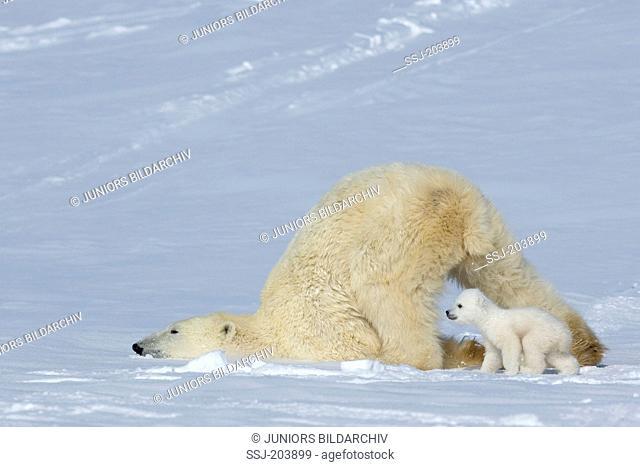 Polar Bear (Ursus maritimus, Thalarctos maritimus). Slimmed down mother with cub on snow. Wapusk National Park, Canada