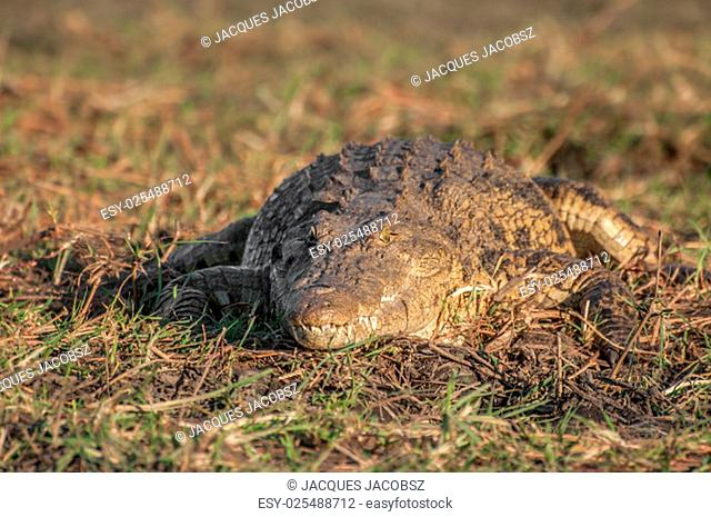 A Nile crocodile lies in the heat of the sun on a late afternoon on the banks of the Chobe river in Botswana