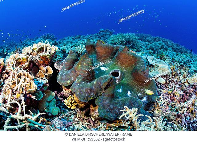 Great Clam, Tridacna squamosa, Mary Island, Solomon Islands