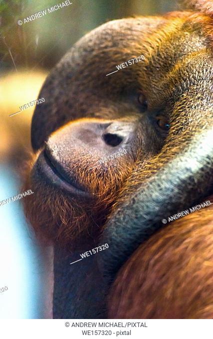 Mature male Orangutan (Pongo pygmaeus)