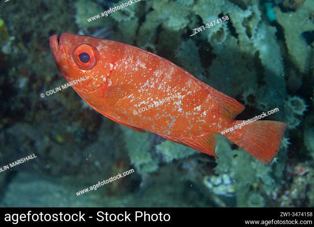 Bloch's Bigeye (Priacanthus blochii, Priacanthidae Family), Sampiri 3 dive site, Bangka Island, north Sulawesi, Indonesia, Pacific Ocean