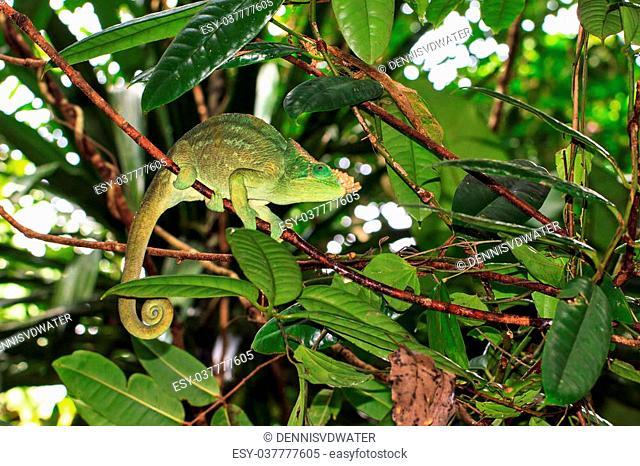 Beautiful camouflaged Parsons chameleon (Calumma parsonii) in the rainforest jungle of the Masoala National Park in Madagascar