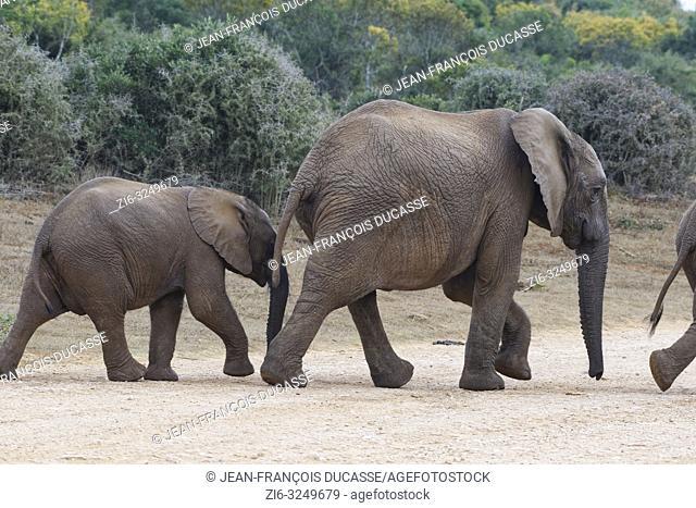 African bush elephants (Loxodonta africana), elephant calves walking on a dirt road, Addo Elephant National Park, Eastern Cape, South Africa, Africa