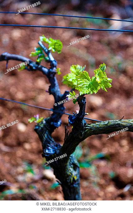 Vineyard. Ayegui, Estella comarca, Navarra, Spain, Europe