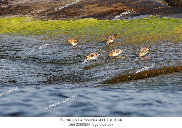 Red Knot, Calidris canulus, Smaland, Sweden