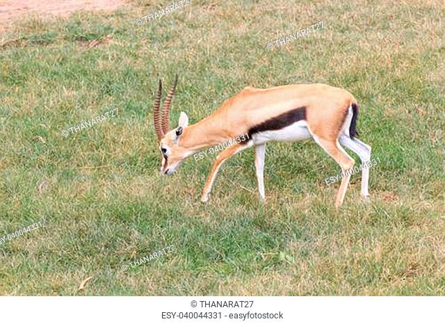 Male antelope in a Khao Kheow Zoo, Chonburi in thailand