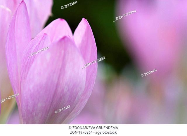 Herbstzeitlose - Colchicum autumnale