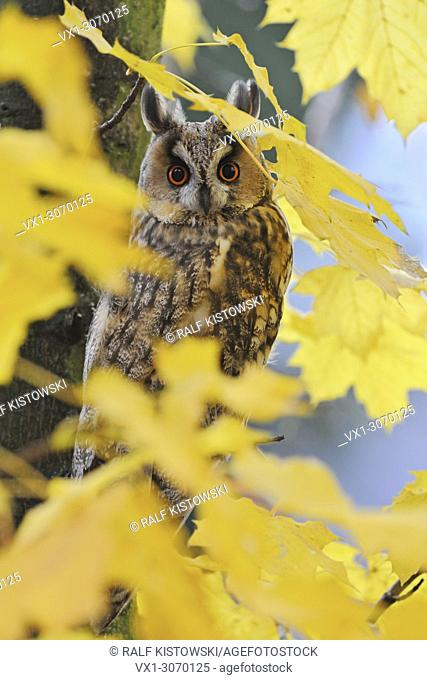 Long-eared Owl ( Asio otus ) perched in an autumnal tree, orange eyes wide open, surrounded by golden leaves, wildlife, Europe