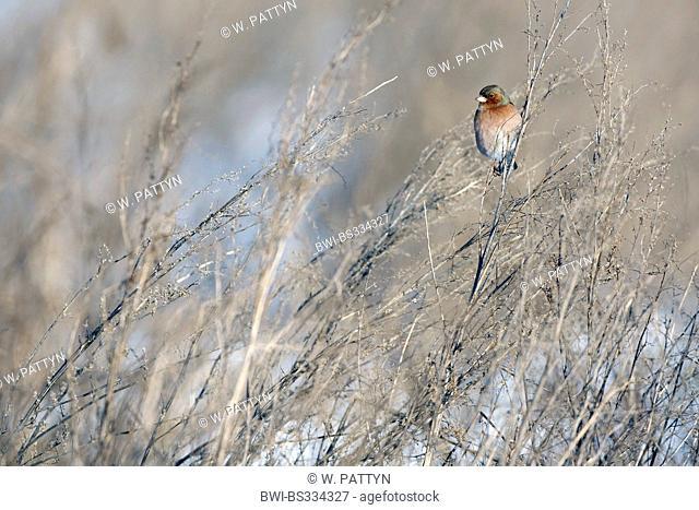 chaffinch (Fringilla coelebs), on dry coppice, Belgium
