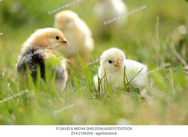 Close-up of chicken (Gallus gallus domesticus) chicks on a meadow in spring