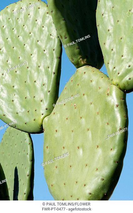 Opuntia cochenillifera, Prickly pear cactus, Green subject, Blue background