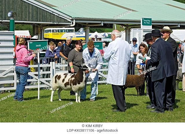 England, North Yorkshire, Harrogate. Breeds of sheep including Jacob and Shetland being judged at the Great Yorkshire Show