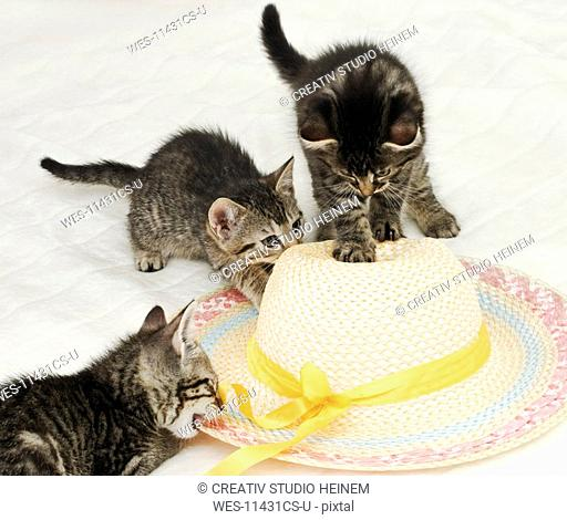 Domestic cats, kittens playing with straw hat