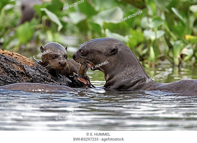 giant otter (Pteronura brasiliensis), adult and cub, Brazil