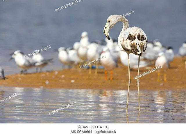 Greater Flamingo (Phoenicopterus roseus), Juvenile standing in the water, Qurayyat, Muscat Governorate, Oman