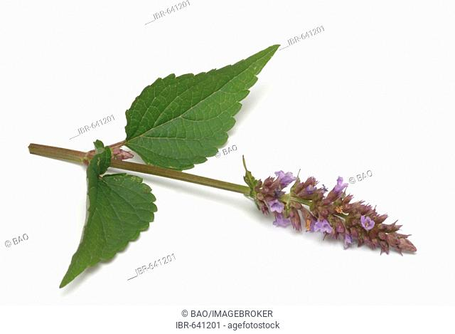 Korean Mint or Purple Giant Hyssop (Agastache rugosa), spice, medicinal plant