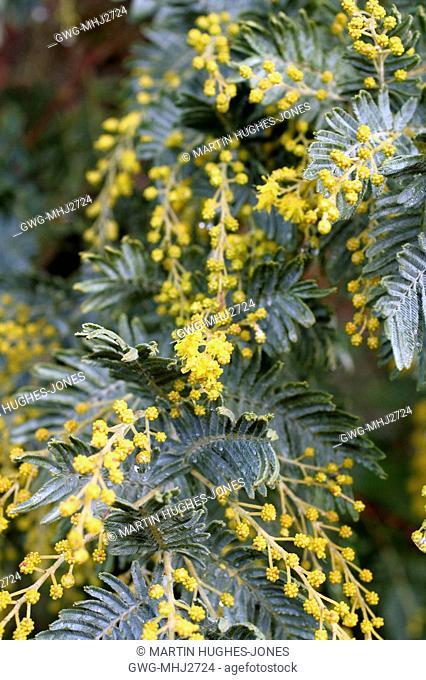 Acacia Dealbata Subalpina Stock Photos And Images Age Fotostock