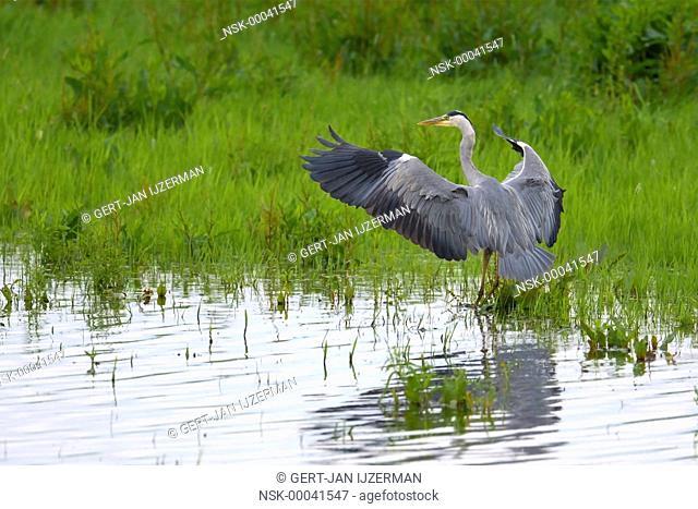 Grey Heron (Ardea cinerea) spreading its wings, the Netherlands, Overijssel