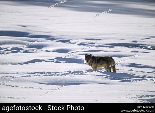 Gray Wolf in the snow - Gray Wolf standing near an out of frame a bison carcus - North America Yellowstone