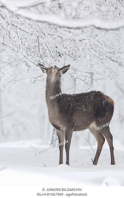 Red Deer (Cervus elaphus). Doe standing in snowy forest, eating tree buds. Germany