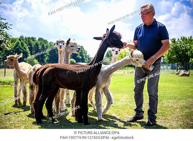 19 June 2019, Brandenburg, Walsleben: Breeder Edgar Papenbrock feeds his alpacas with treats in one of the spacious enclosures