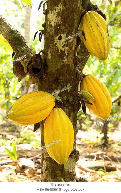 Cocoa tree, Pods, Thailand (Theobroma cacao)