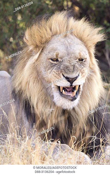 Africa, Southern Africa, Bostwana, Savuti National Park, Lion (Panthera leo), adult male resting in the savannah. Portrait