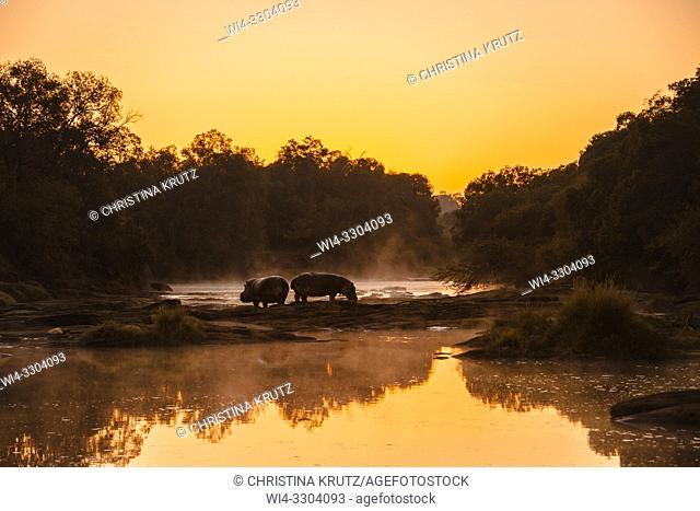 Two Hippos (Hippopotamus amphibus) standing on the edge of the Olare Orok River, Maasai Mara National Reserve, Kenya, Africa