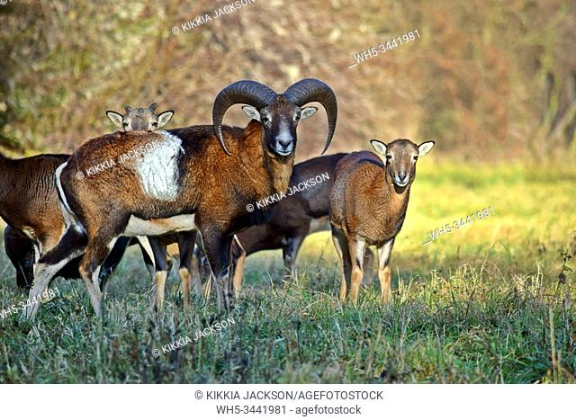 Mouflon Herd in the Forest Portrait Ovis Aries Musimon Czech Republic