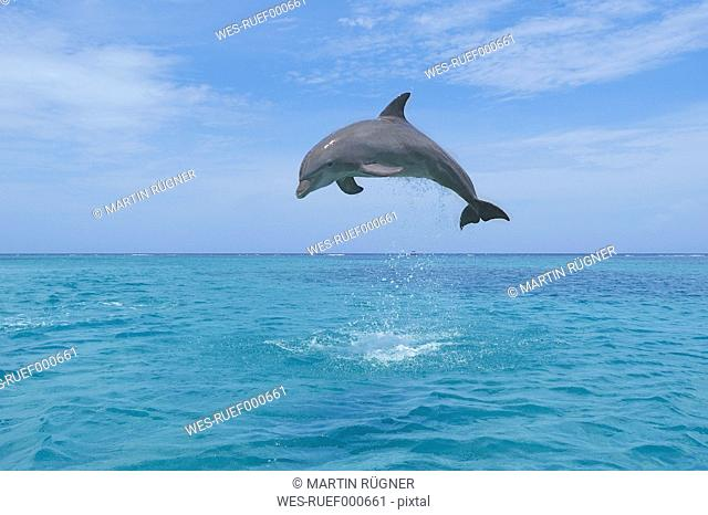 Latin America, Honduras, Bay Islands Department, Roatan, Caribbean Sea, View of bottlenose dolphin jumping in seawater