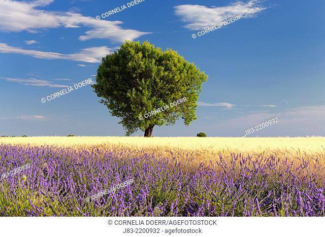 Tree in barley and Lavender field (Lavendula augustifolia) , Valensole, Plateau de Valensole, Alpes-de-Haute-Provence, Provence-Alpes-Cote d'Azur, Provence