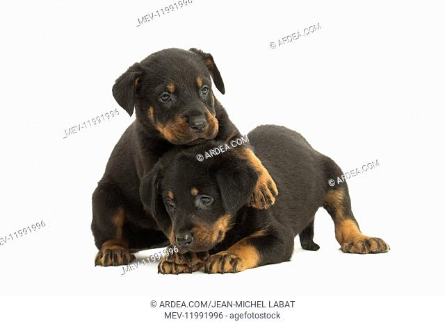 Two Beauceron Dog, puppies