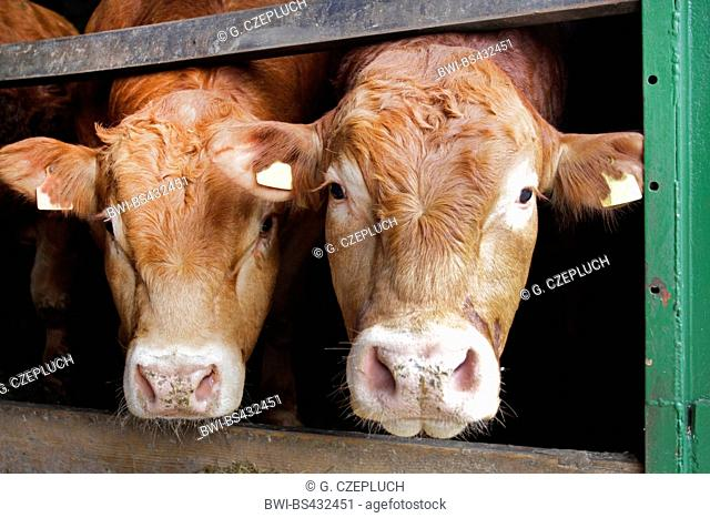 Limousin cattle, domestic cattle (Bos primigenius f. taurus), two bulls in the stable, front view, Germany