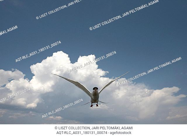 Arctic Tern adult flying, Arctic Tern, Sterna paradisaea