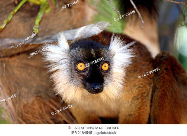 Black Lemur (Eulemur macaco), female, adult, portrait, Nosy Komba, Madagascar, Africa
