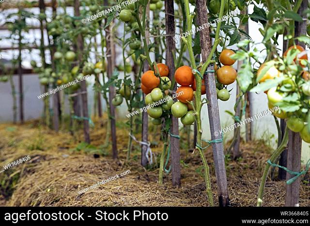 Tomato plants growing in a row