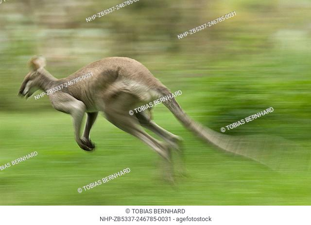 Jumping wallaby, pretty faced wallaby, Queensland Australia