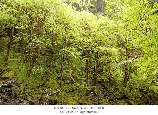 A hillside forest of new growth trees begins its cycle of rebirth in a Northwest forest